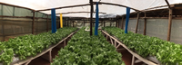 Hydroponics for urban low income groups, Kenya